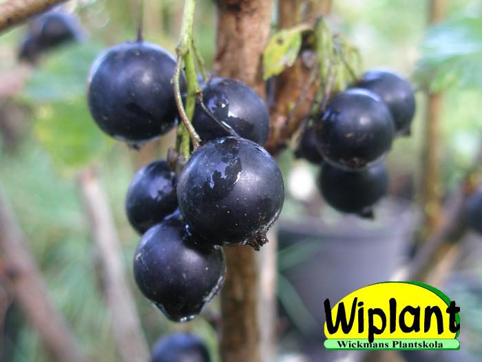 svarta vinbär bästa sort