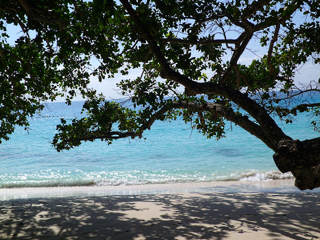 Takamaka Tree at Anse Lazio, Praslin, Seychelles