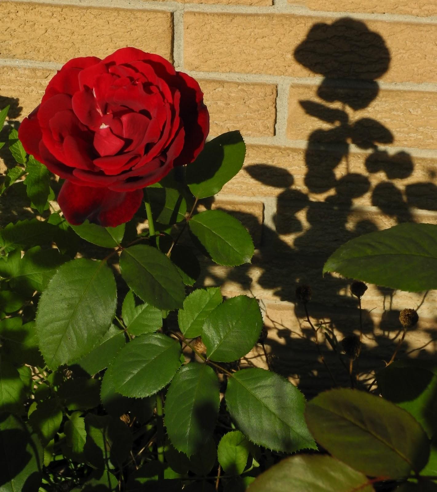 Cherrie Rose