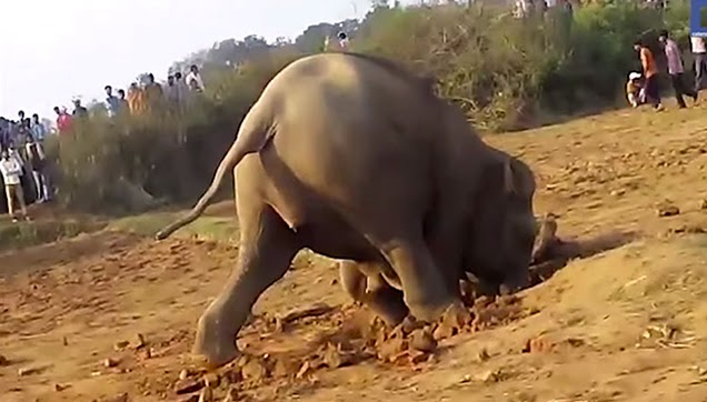 An elephant trying to dig the soil.