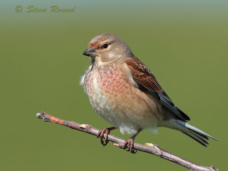 linnet, bird, nature, wildlife