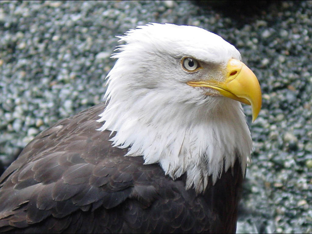 bald eagle In the blink of an eye: bald eagle raids an osprey nest  but monday morning  brought misfortune: the nest was attacked – and spirit taken – by a bald eagle   eagle tumbles down cliff face clutching prey in hair-raising hunt.
