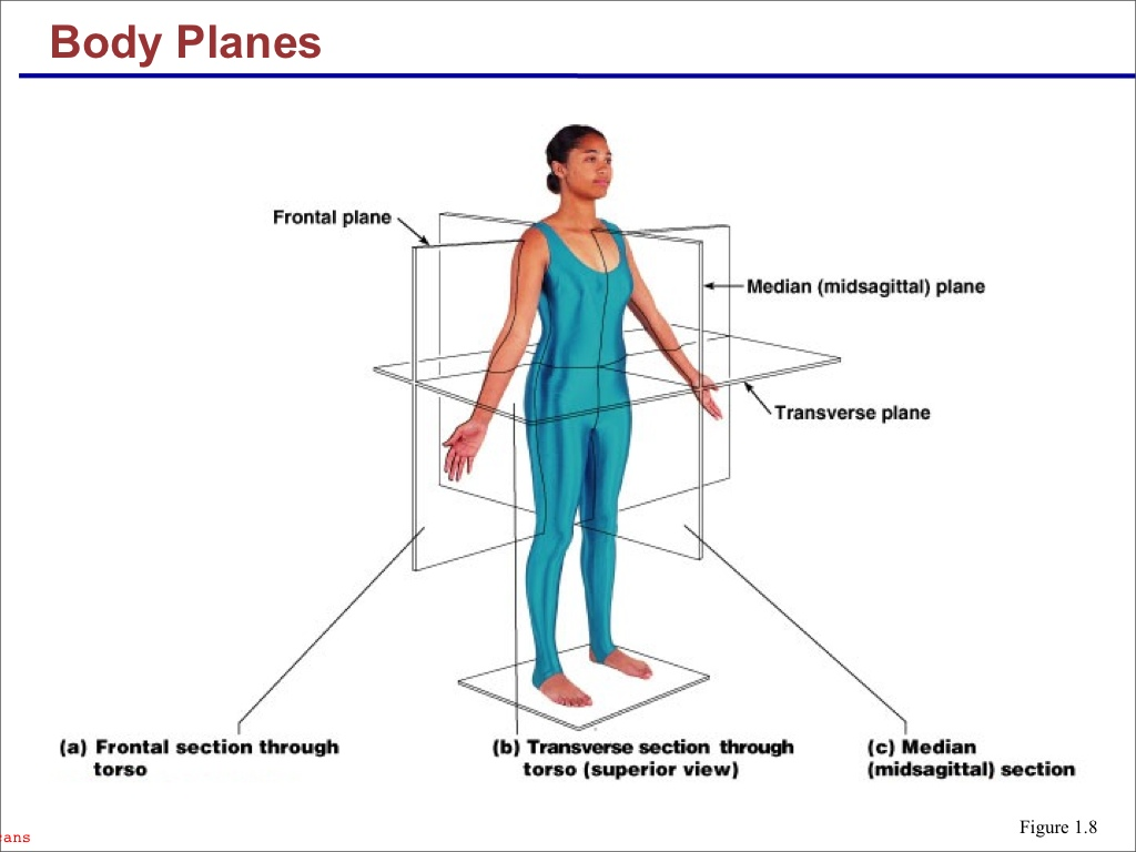 Anatomy and Physiology I Coursework: Body Planes