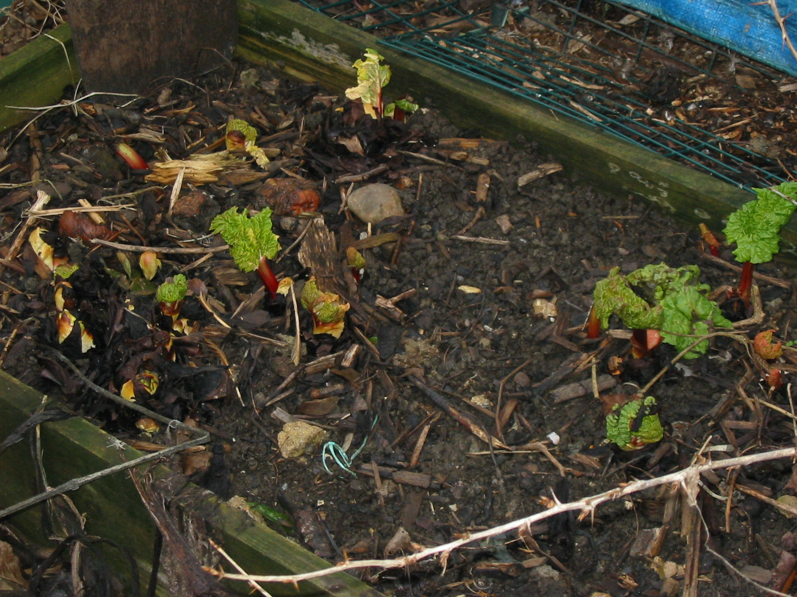 how to grow rhubarb in the ground