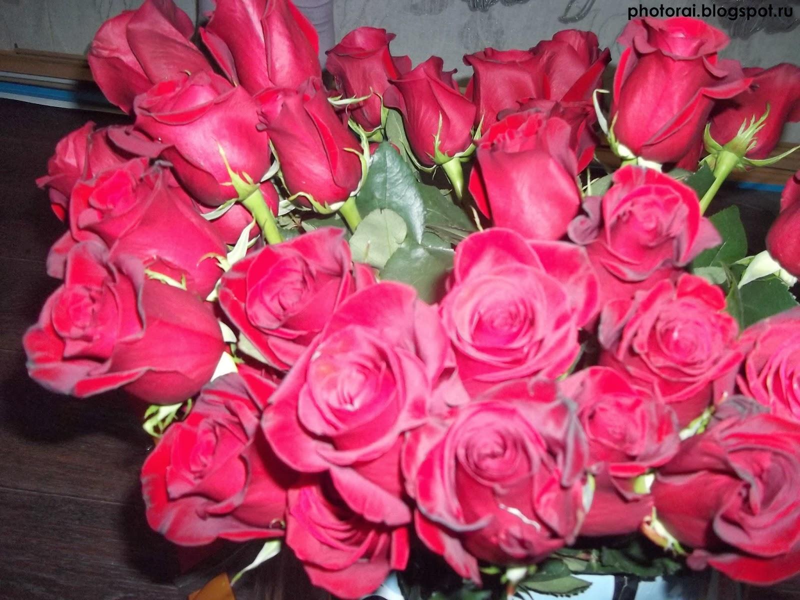 розы 38 штук