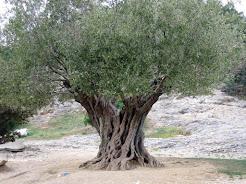 El buen olivo  y el silvestre