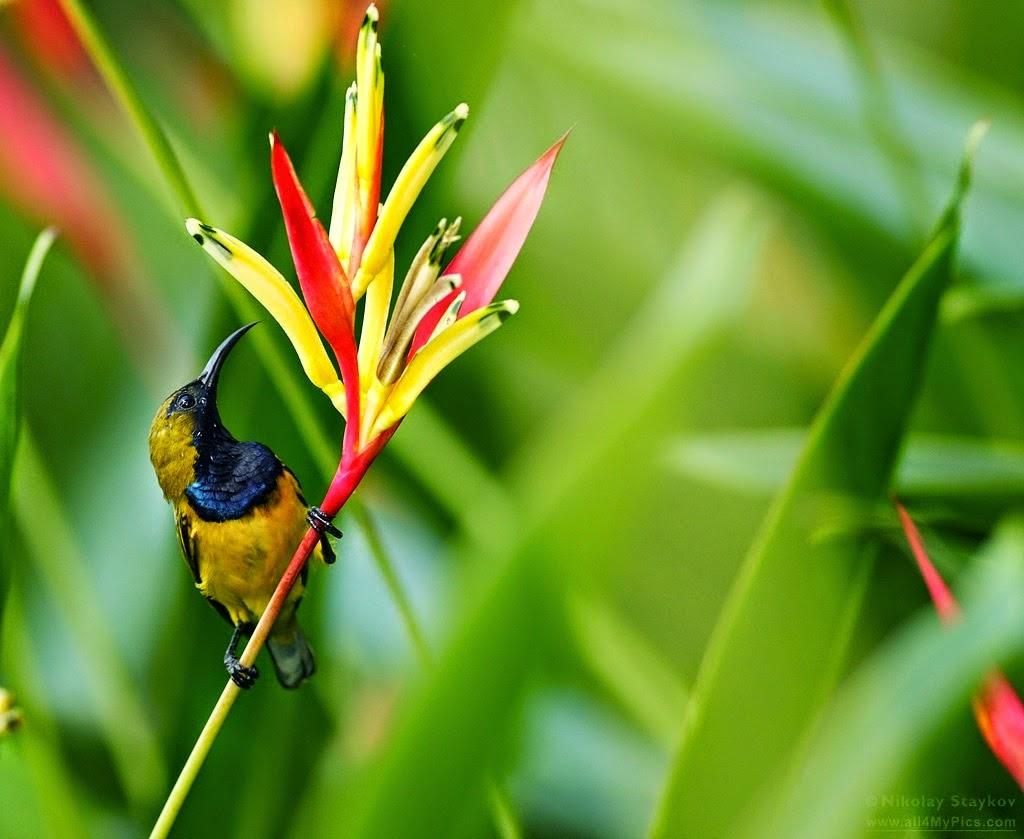 beberapa jenis burung kolibri yang ada di indonesia