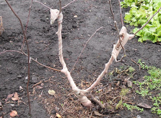 31.10. Старинный способ защиты от мышей яблонь. Заматываю яблоньки старыми капроновыми чулками.