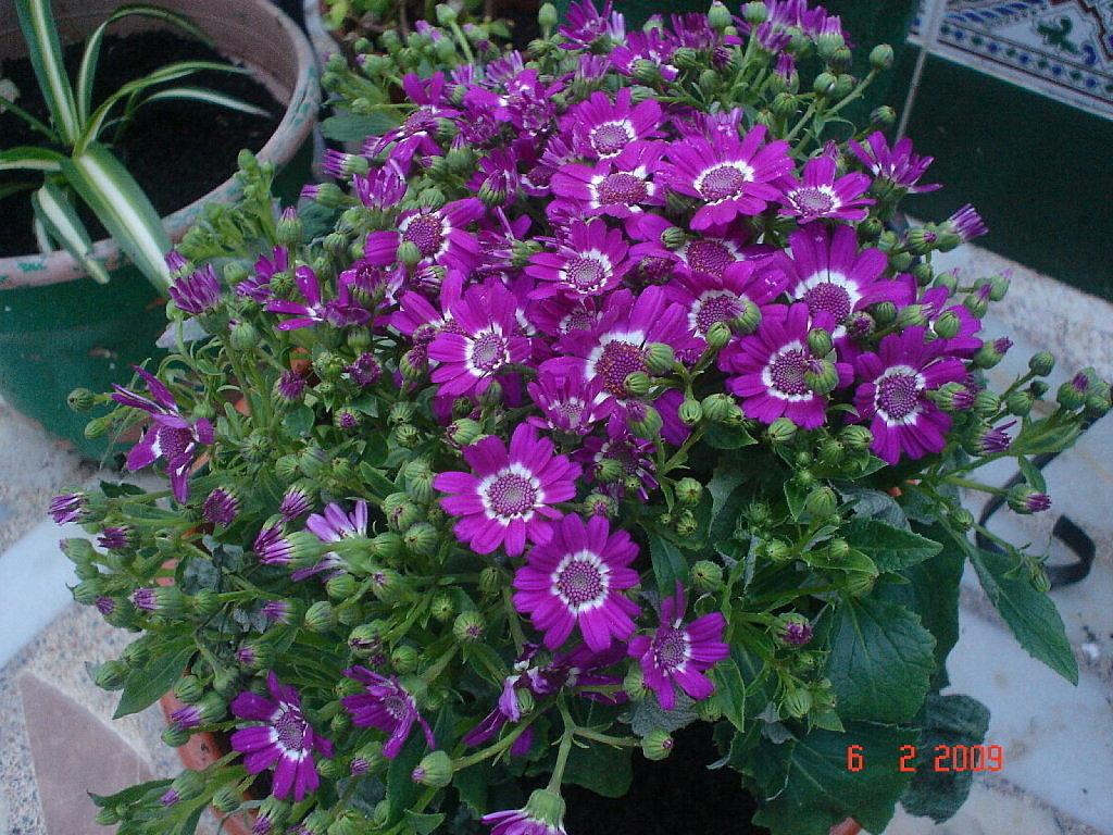 da plenafloração a planta pode ficar completamente coberta de flores