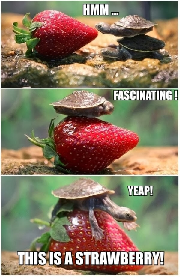 30 Funny animal captions - part 18 (30 pics), funny turtle meme, yep this is strawberry