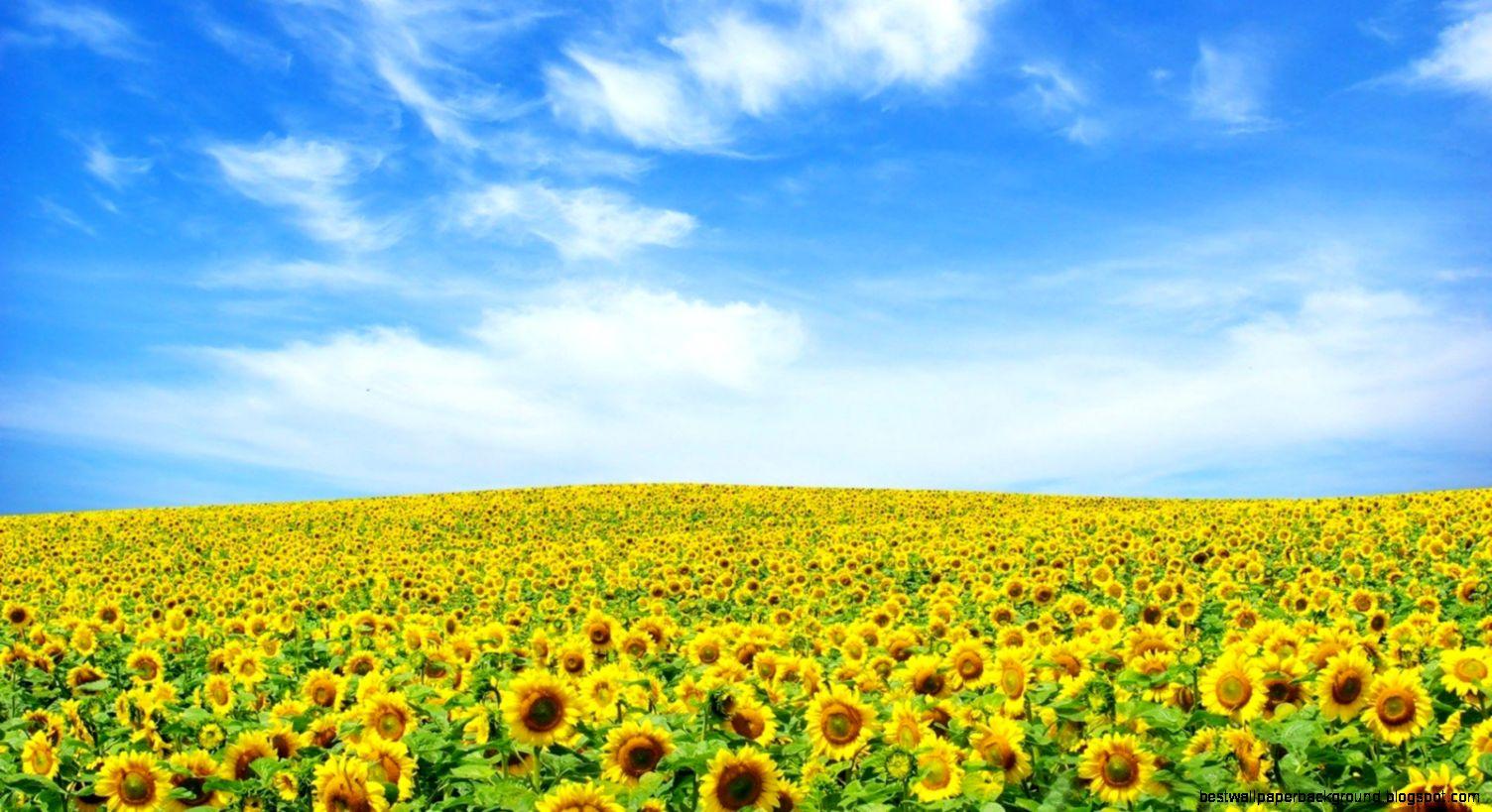 Yellow Flower Hd Wallpaper Best Wallpaper Background