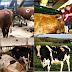 Cientistas abrem buracos em vacas vivas para observar sua digestão