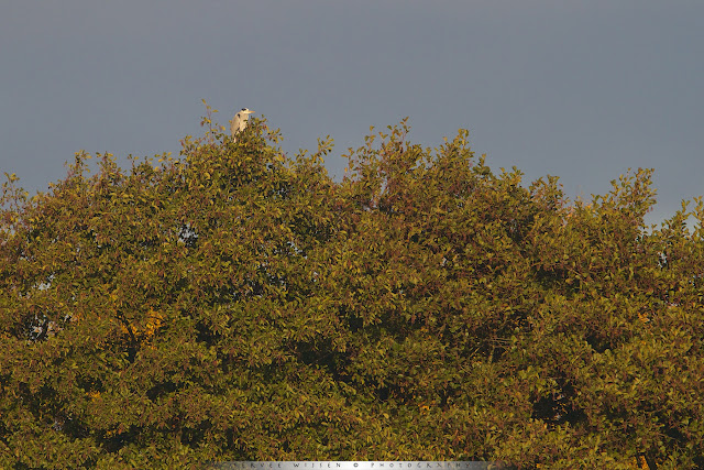 Grey Heron in treetop