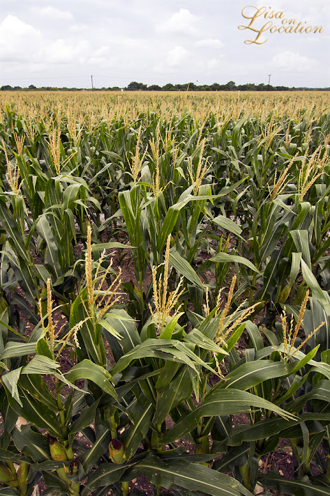 cornfield, 365 photo project, Lisa on Location photography, New Braunfels, San Marcos, Austin, San Antonio
