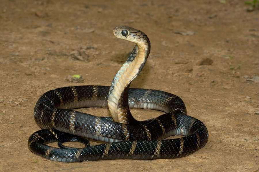 تفسير رؤية الثعبان في الحلم معنى حلم ثعبان في المنام Dream Snake