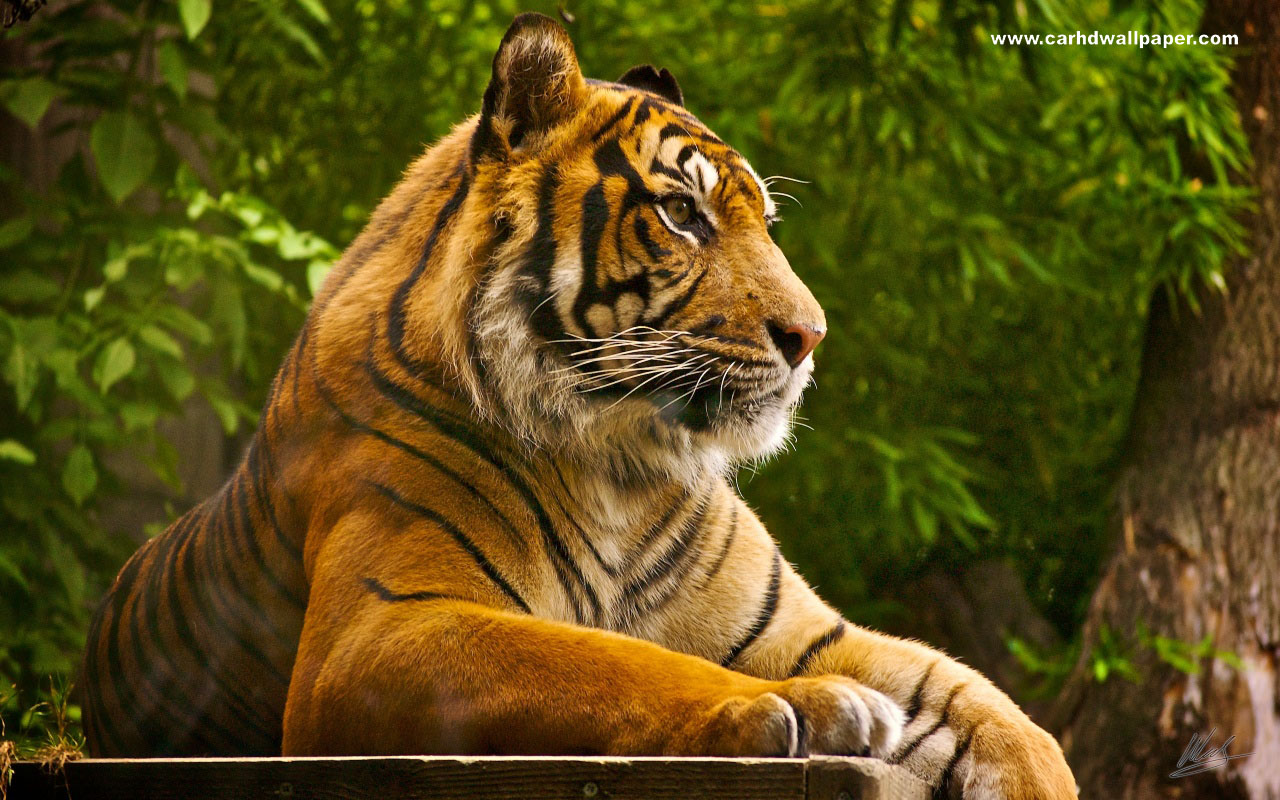 Wonderful Wallpaper High Resolution Tiger - 2012+Tiger+HD+Wallpapers+1920x1080  Image_426047.jpg