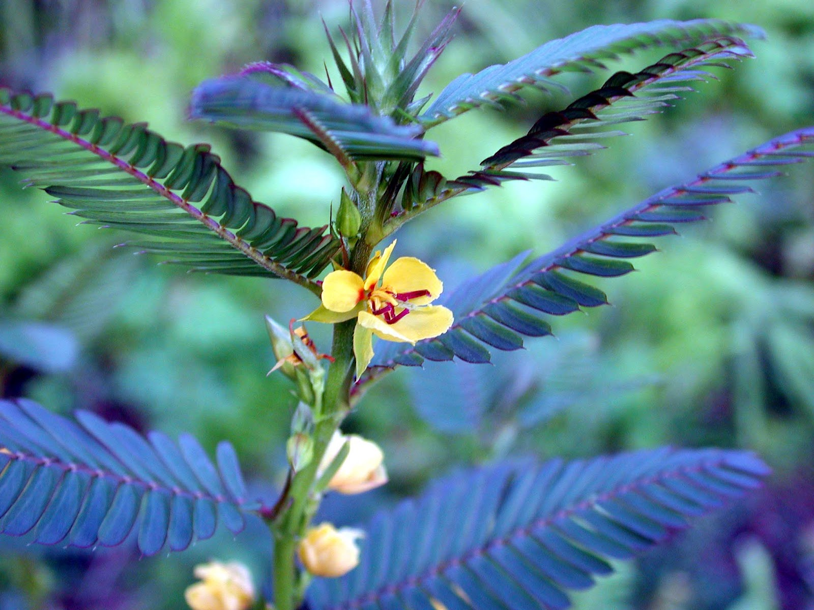 Partridge Pea Hawaii Horticulture