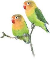 Lovebird Hijau Standard