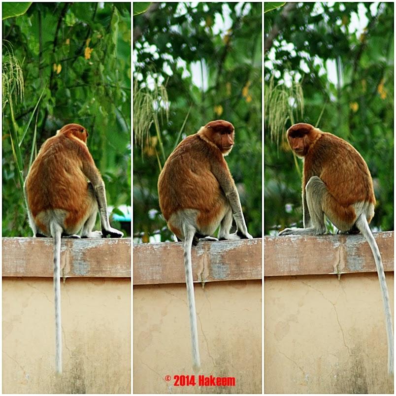 bekantan betina, proboscis monkey (female)
