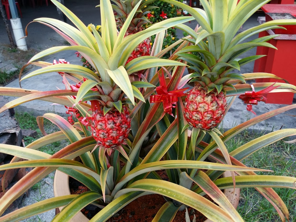 Xing fu ornamental pineapple plant for Ornamental garden plants