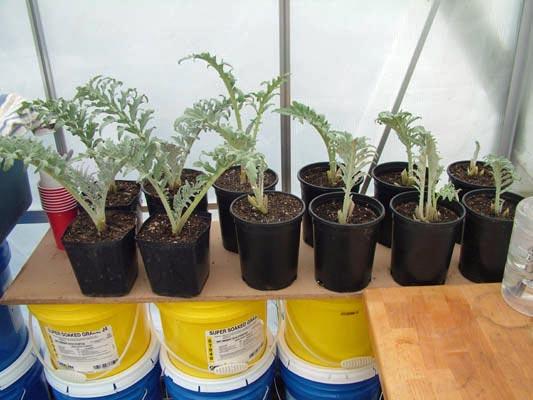 artichoke plants in containers wwwimgkidcom the