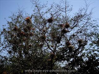 Tillandsia rothii habitat