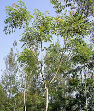Trees of Arunachala, Right Click on Photographs for information link