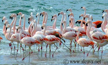 Flamingo in Peninsula Valdes Patagonia Argentina