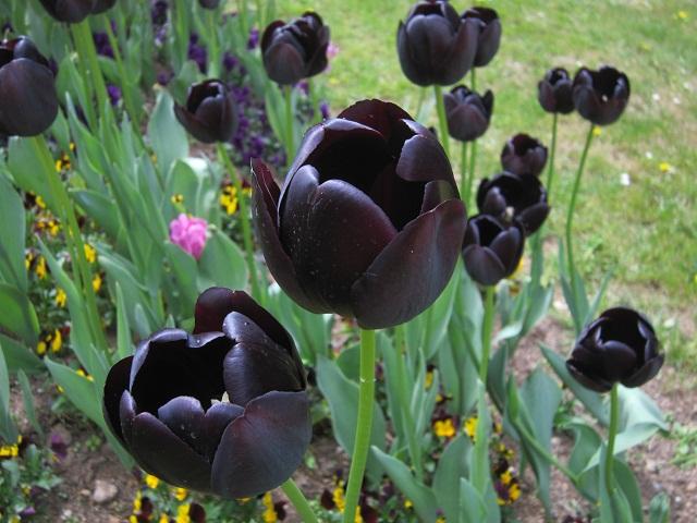 tulipe noire symbole