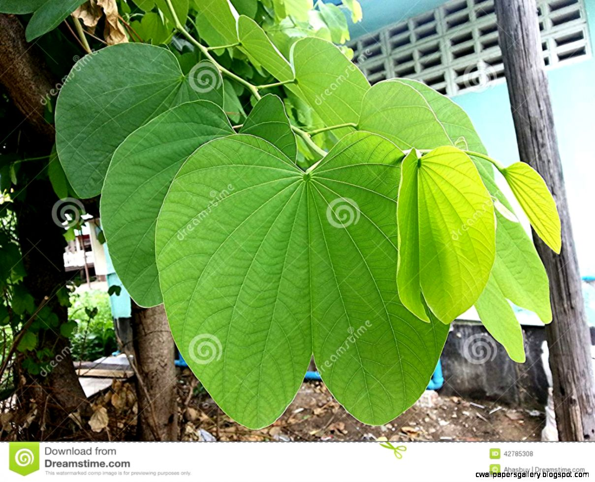 Orchid Tree Leaf Stock Photo   Image 42785308