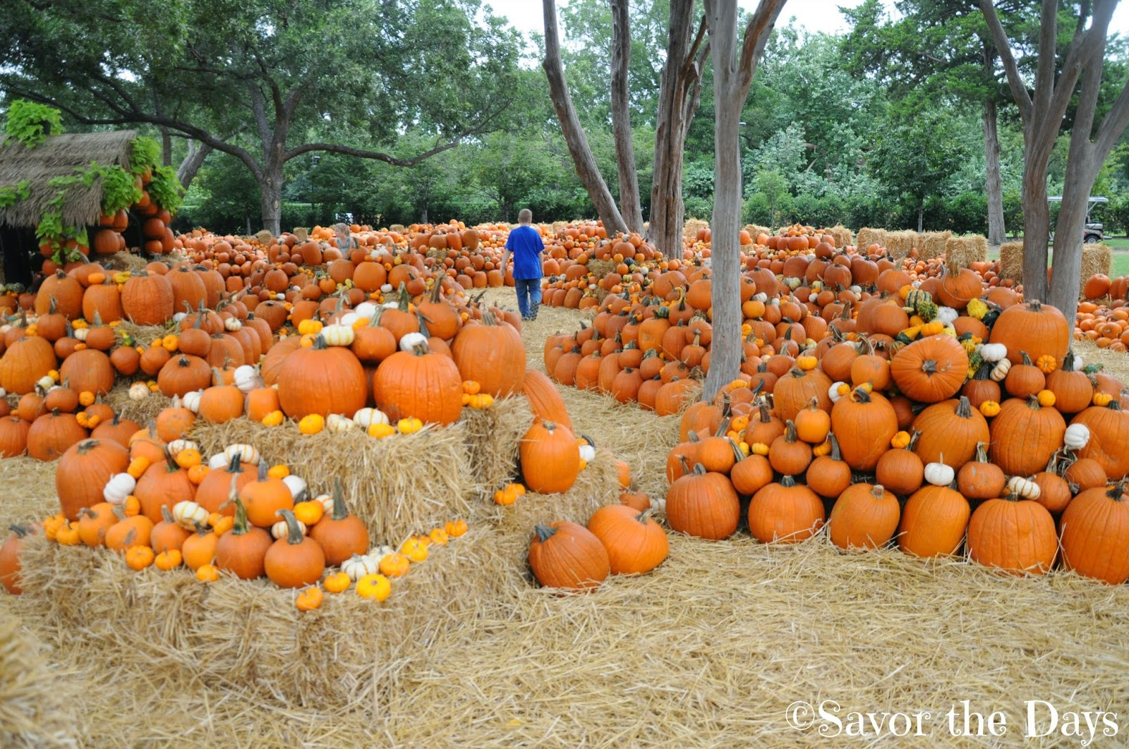 Giant piles of pumpkins