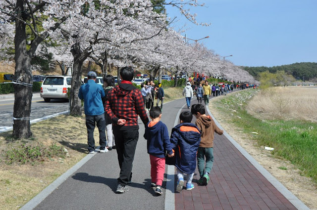 Road of White Cherry Blossoms