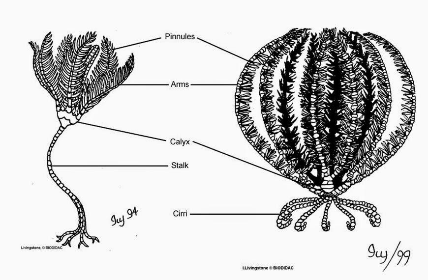 Weird Wonder Wednesday Sea Lilies likewise 268502981 fig4 Figura 5 Holothuroidea A Anatomia Externa B Anatomia Interna Fig A Tomado De furthermore Crinoid furthermore 9419138 Texto Base Aula 19 Linhagens De Organismos Metazoarios 3 together with 2437429. on crinoidea