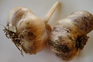 Grow Garlic in Alberta