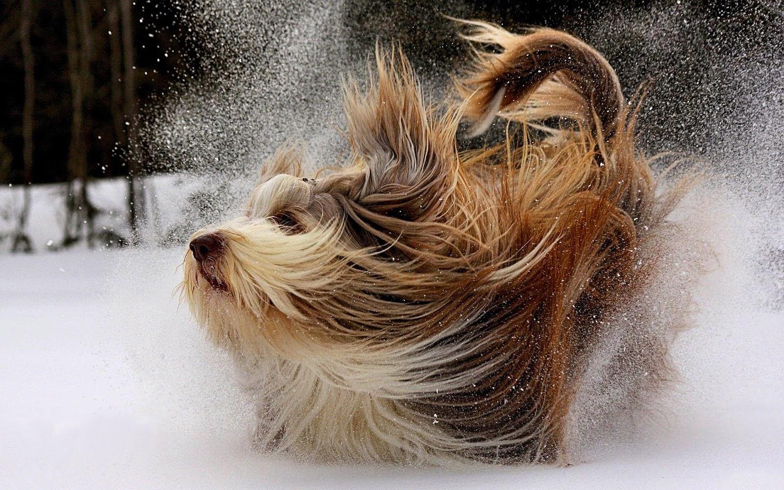 Winter wallpaper met langharige hond