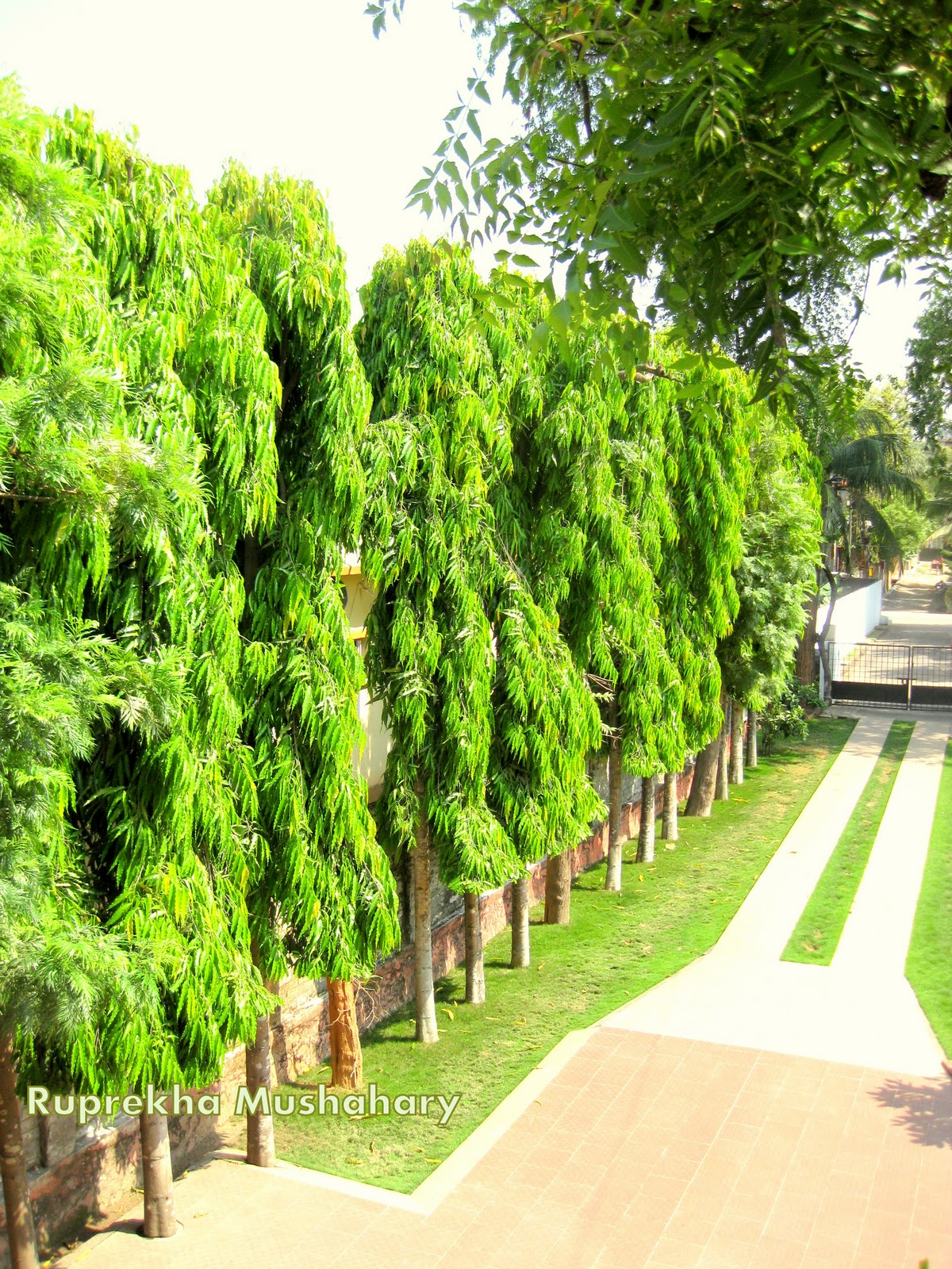 ashoka tree Ashoka tree benefits, natural healing herb our ancient poets have all paid  glowing tributes to the beautiful flowers, fruits and trees of our country and have.