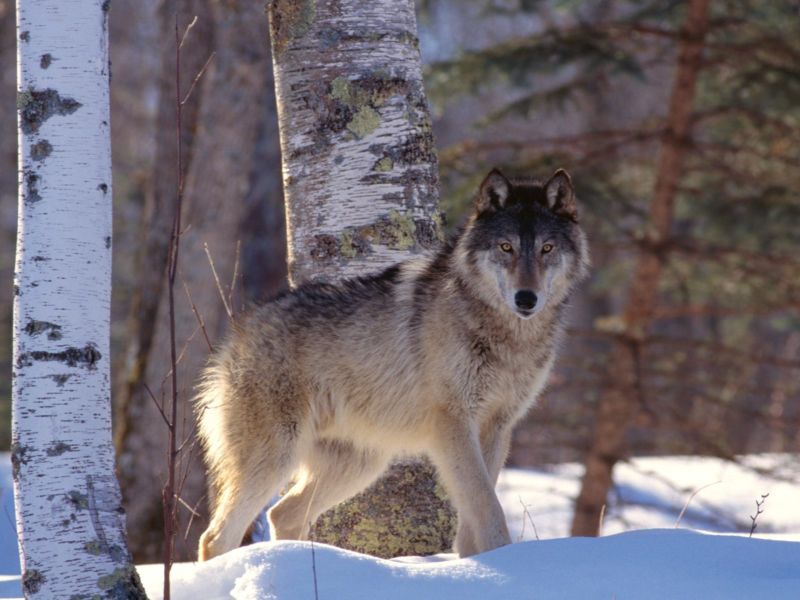 The Wild Wolf | New Pictures | The Wildlife