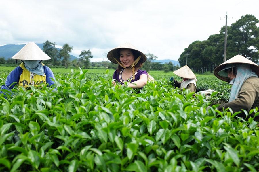Gia Lai: Đi giữa Biển Hồ trà