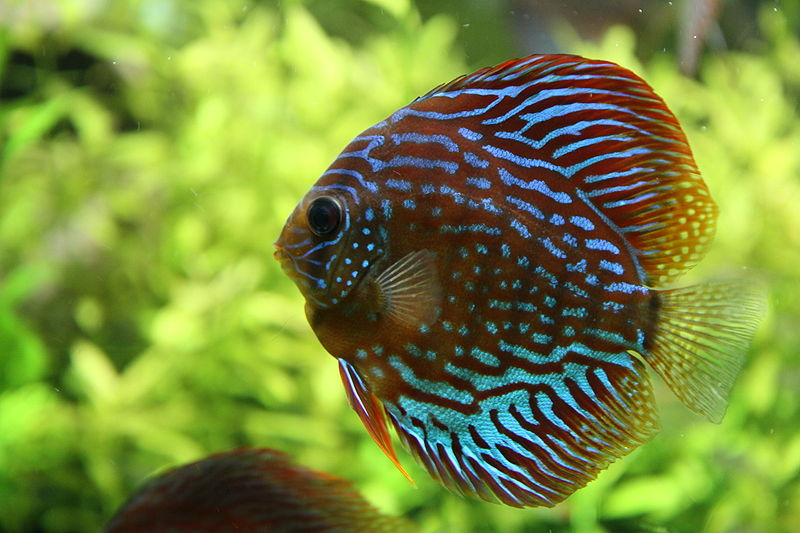 Discus vs ali cichlid - YouTube