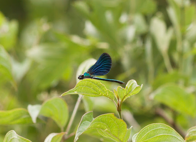 Beautiful Demoiselle - Fermyn Woods, Northamptonshire
