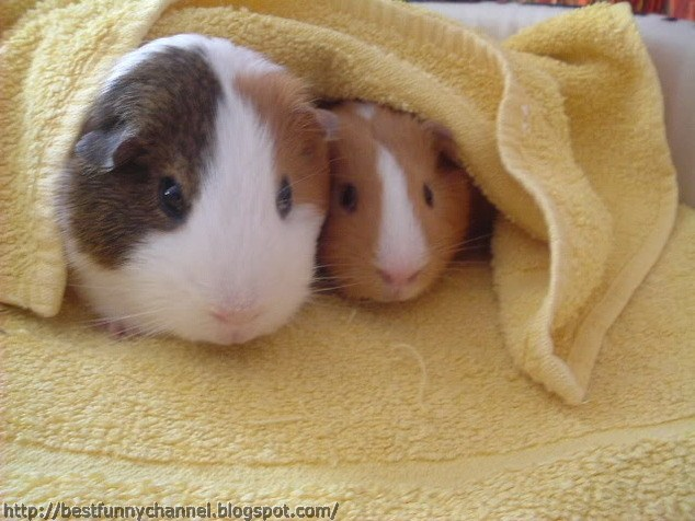 Two very nice guinea pigs .