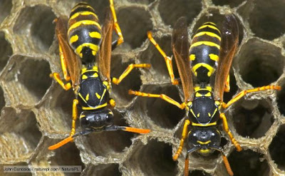 8 Wasps %Category Photo