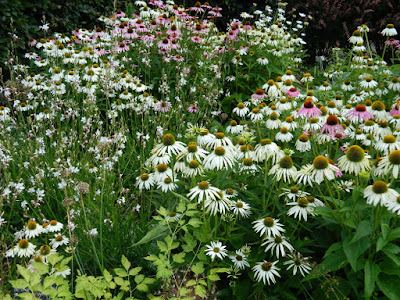 Echinacea purpurea White Swan purple coneflower at Toronto Botanical Garden by garden muses-not another Toronto gardening blog