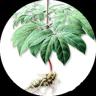 notoginseng, obat herbal jantung lemah