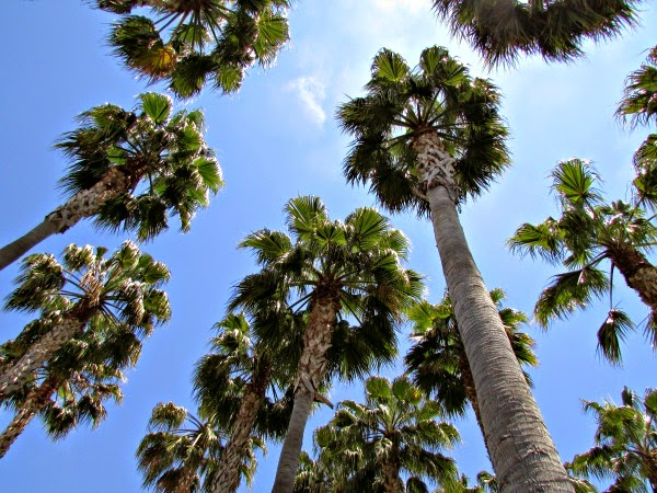 Jack London Square // Palm Trees