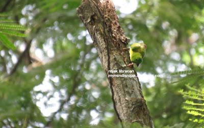 Blue Crowned Hanging Parrot in Bidadari