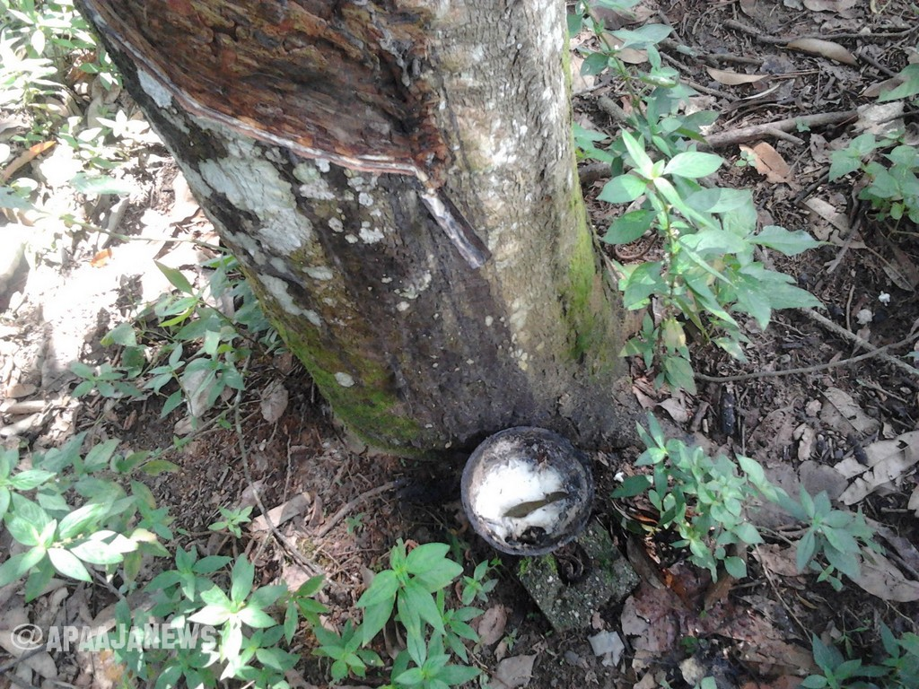 POKOK_GETAH | RUBBER TREE
