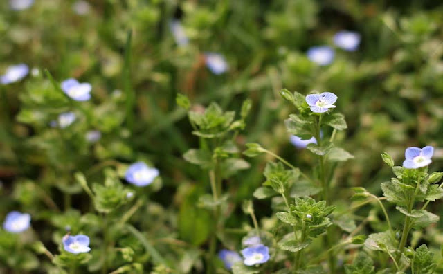 Veronica Persica Flowers Pictures