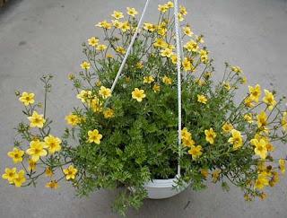 Il giardino sfumato marzo 2011 for Petunie perenni