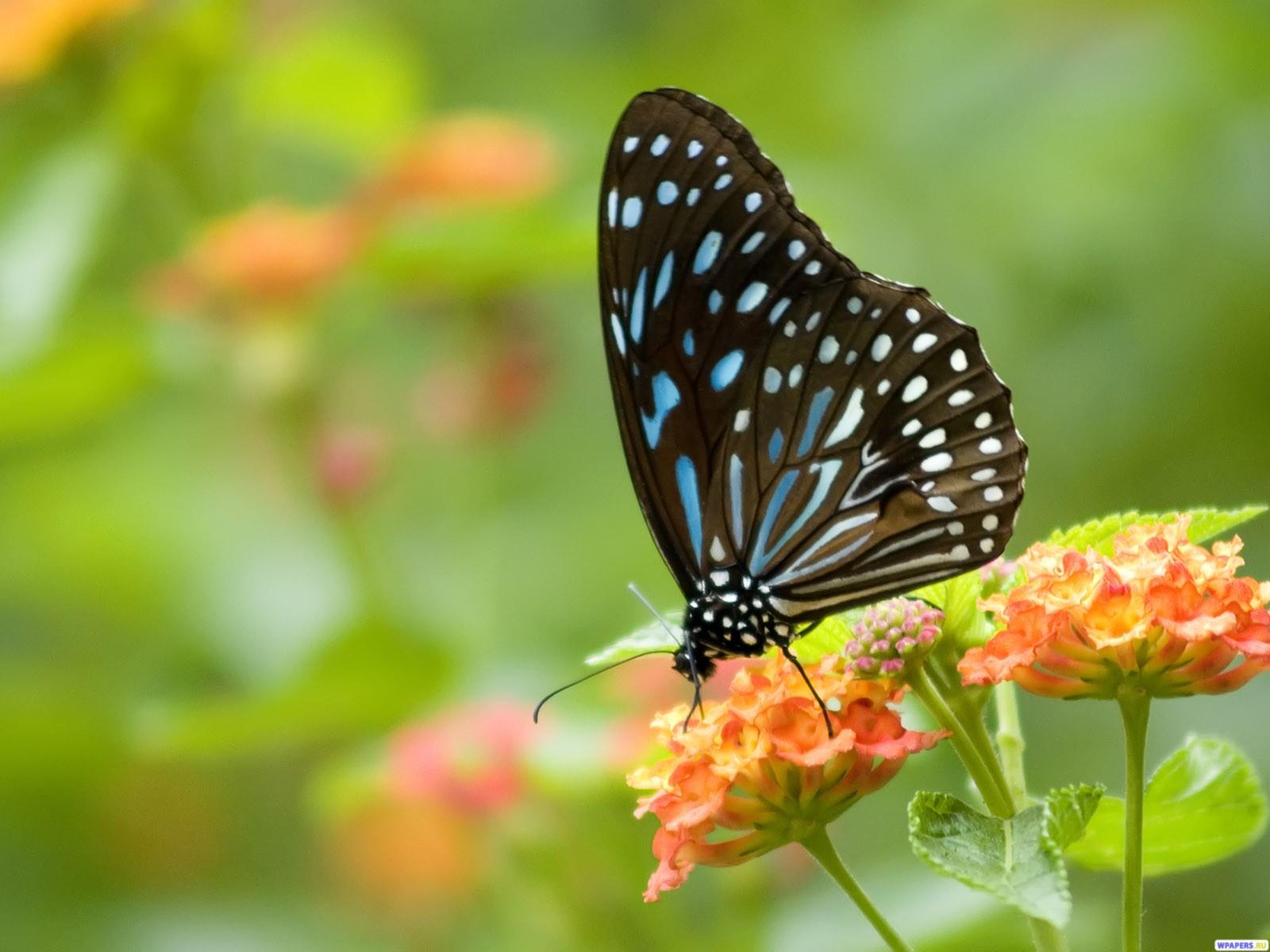 http://3.bp.blogspot.com/-kWK8arrPbk8/UKY3POfBYwI/AAAAAAAAKLA/9a6bPHRFkaw/s1600/Sweat+Black+Butterfly+Wallpaper.jpg